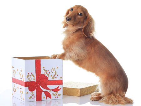 Naughty puppy and the Christmas present.