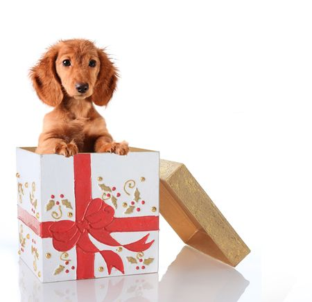 Christmas puppy in a gift box.