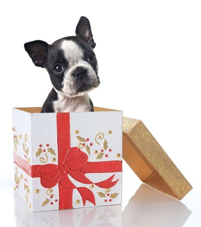 Boston Terrier puppy in a Christmas gift box.