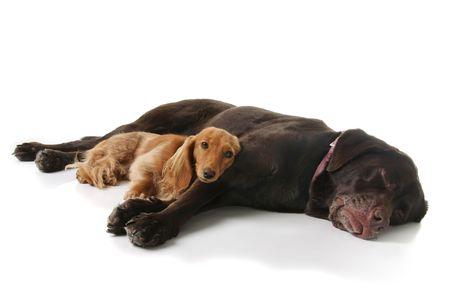 wiener dog: Dachshund and chocolate lab, sleeping together.  Stock Photo