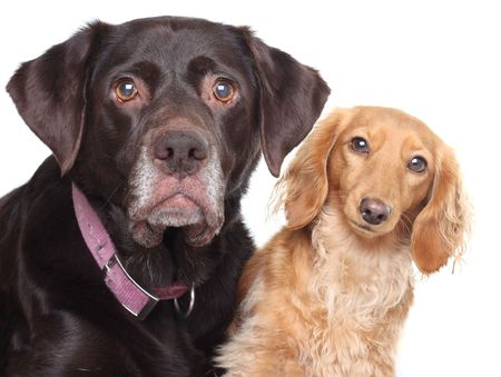 A lab and a dachshund together.