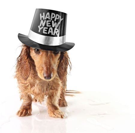 Soaking wet puppy wearing a Happy New Year hat.