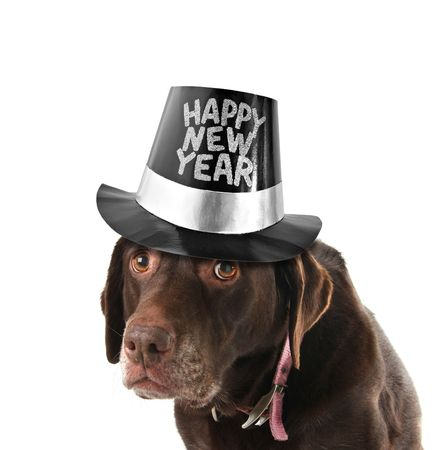 Old and sad labrador retriever wearing a happy new year hat.