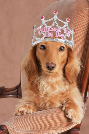 throne: Cute dachshund wearing a princess crown.