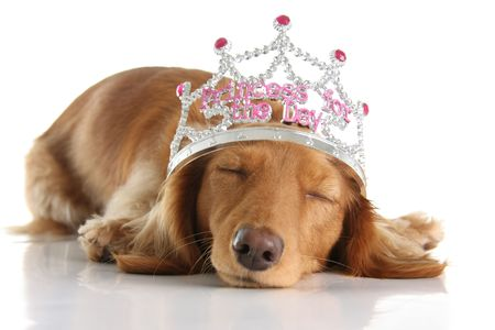critters: Tired dachshund wearing a princess crown.  Stock Photo