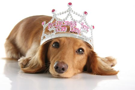 critters: Dachshund wearing a princess crown. Studio isolated.