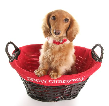 Dachshund in a Merry Christmas basket. photo