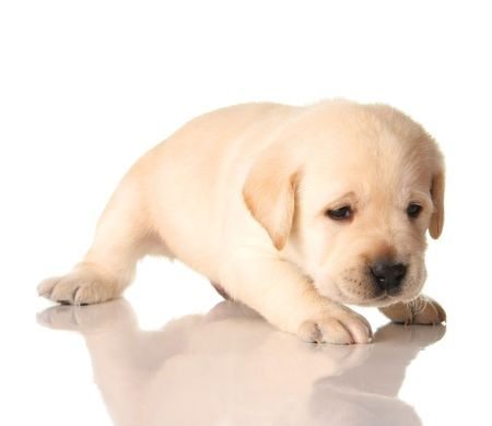 Yellow lab puppy isolated on white, three weeks old.   photo