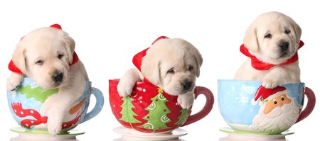 Three yellow lab puppies in Christmas tea cups.  photo