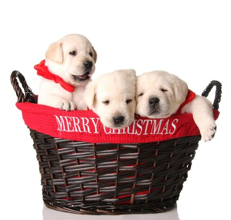 Three yellow lab puppies in a Merry Christmas basket.  photo