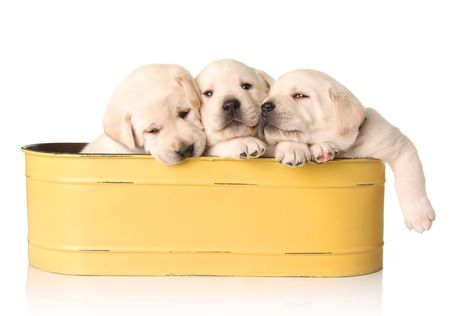 Three yellow lab puppies in a yellow container.  photo