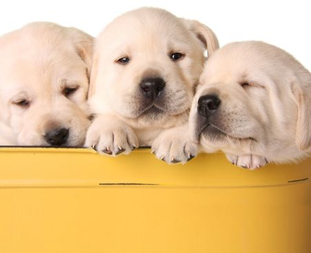 Yellow lab puppies photo