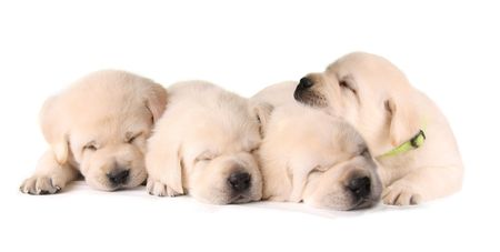 Four sleepy yellow lab puppies.