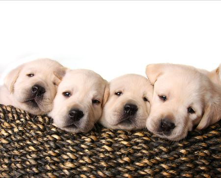 yellow yellow lab: Four yellow lab puppies in a basket. Stock Photo