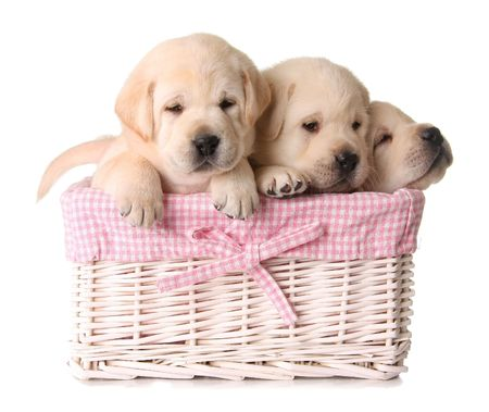 Three yellow lab puppies in a pink basket.  Фото со стока