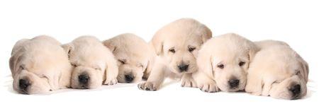 6 イエローラブ子犬生後 3 週間