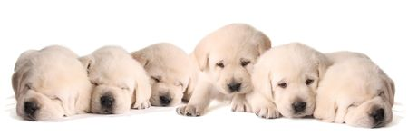 Six yellow lab puppies, three weeks old. 스톡 콘텐츠