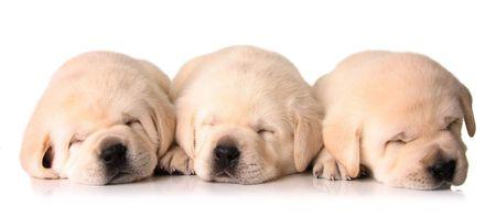 Three sleeping labrador puppies, three weeks old.  photo