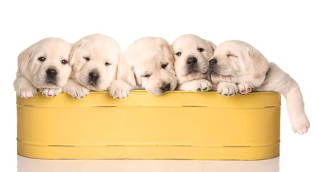 critters: Five yellow lab puppies in a yellow container Stock Photo