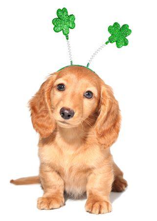 Miniature dachshund puppy wearing St Patricks day costume. Stock Photo