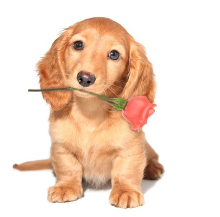 wiener: Miniature dachshund puppy with a rose Stock Photo