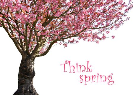 blossoming: Gorgeous early spring blooming cherry trees in pink.  Stock Photo