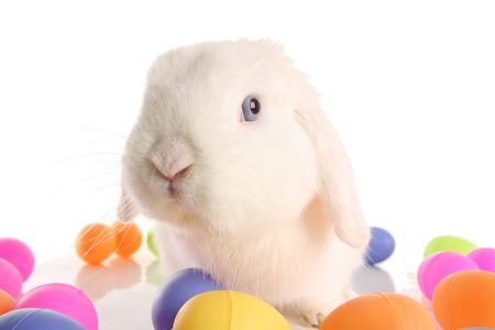 lop lop rabbit white: Cute bunny surrounded by easter eggs.