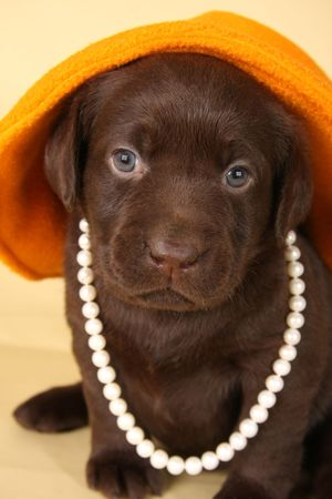 critters: Chocolate lab puppy dressed up in pearls and hat.