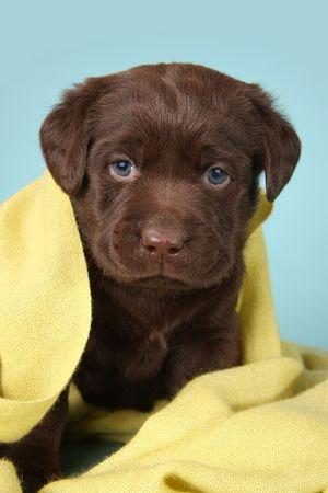 labrador retriever: Cachorro de raza pura de labrador retriever  Foto de archivo