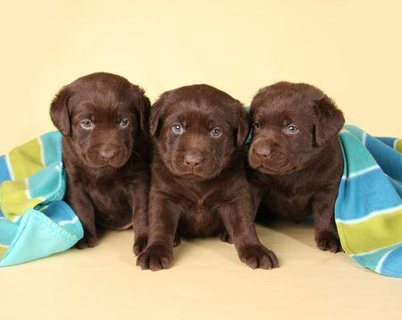 labrador retriever: Tres cachorros de chocolate de labrador retriever.