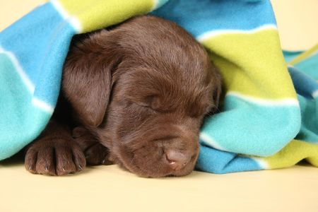 critters: Purebred labrador retriever puppy sleeping.  Stock Photo