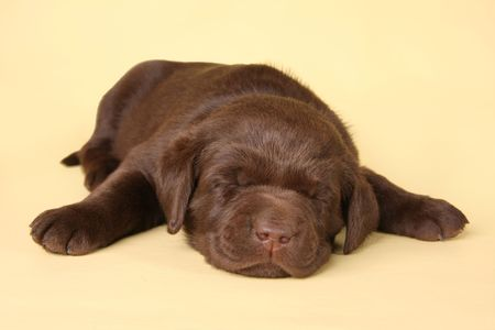 Sleeping labrador retriever puppy Stock Photo - 6827240