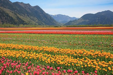 Fields of tulips in British Columbia, Canada.