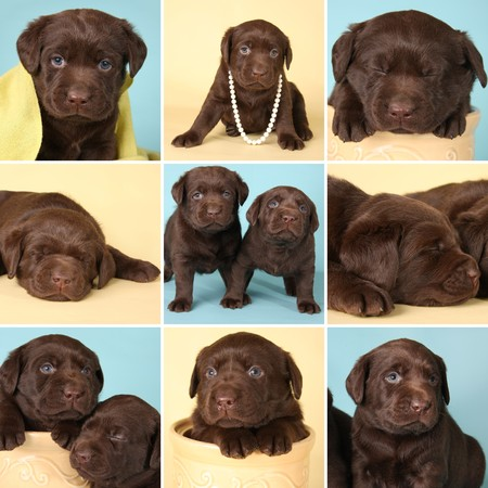 yellow yellow lab: Purebred chocolate labrador retriever puppies, all from the same litter.  Stock Photo