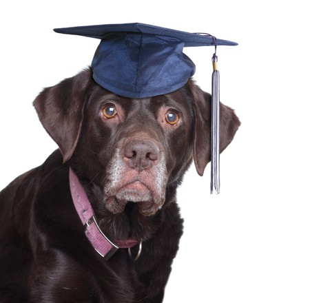 dog school: Old labrador retriever,  wearing a mortar board. Never too old to learn concept.