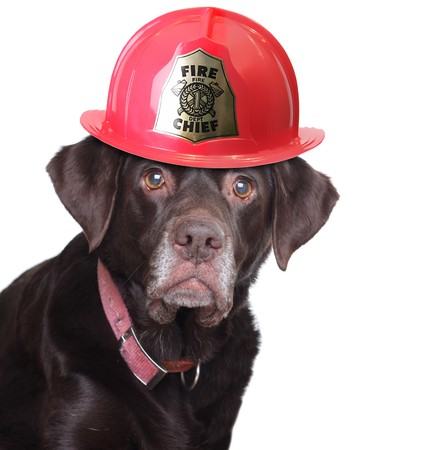 Old labrador retriever wearing a fire fighter helmet, studio isolated on white.  Stock Photo
