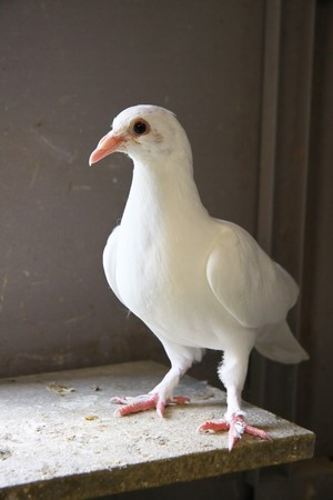 Homing pigeon inside the coop.  Stock Photo - 9513453