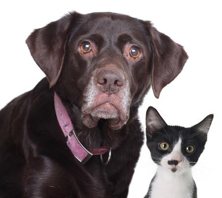 labrador retriever: Antiguo labrador retriever y gato, estudio aislado en blanco.  Foto de archivo