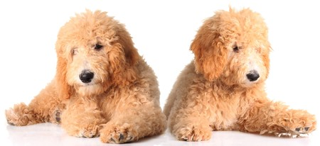 Two golden doodle puppies isolated on white.  photo