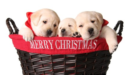 yellow yellow lab: Three yellow lab puppies in a Merry Christmas basket.