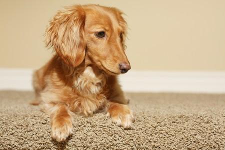 wiener dog: Dachshund at home.  Stock Photo