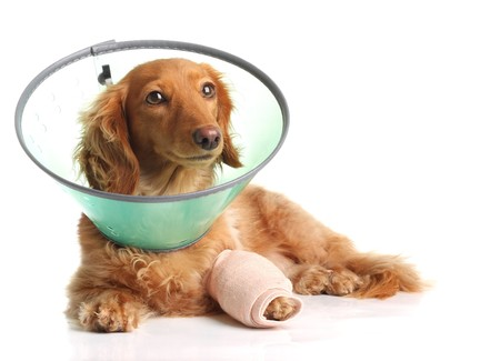 cast: Sick dachshund wearing a funnel collar for a injured leg.  Stock Photo