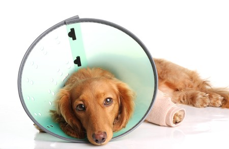 bandage: Sick dog wearing a funnel collar for an injured leg.  Stock Photo