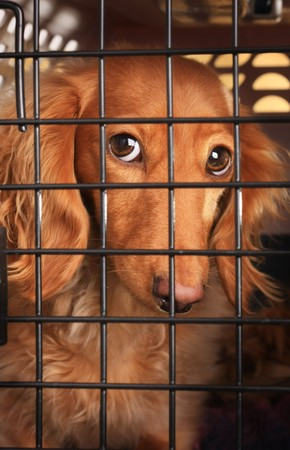 Sad dachshund dog behind bars in a cage.