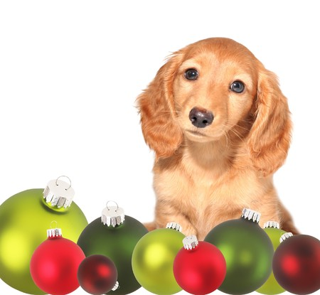Dachshund puppy surrounded by Christmas ornaments.