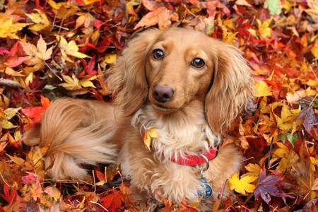 Dachshund dog surrounded by autumn leaves.