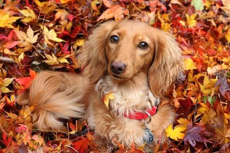Teckel hond omringd door herfst bladeren.