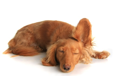Sleepy dachshund dog listening with one ear up. photo