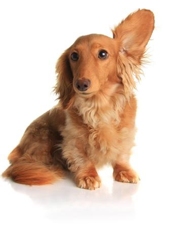 oir: Perro de dachshund gracioso escuchar m�sica.  Foto de archivo