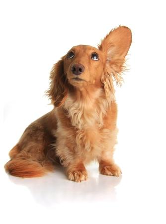 listening music: Perro de dachshund gracioso escuchar m�sica.  Foto de archivo